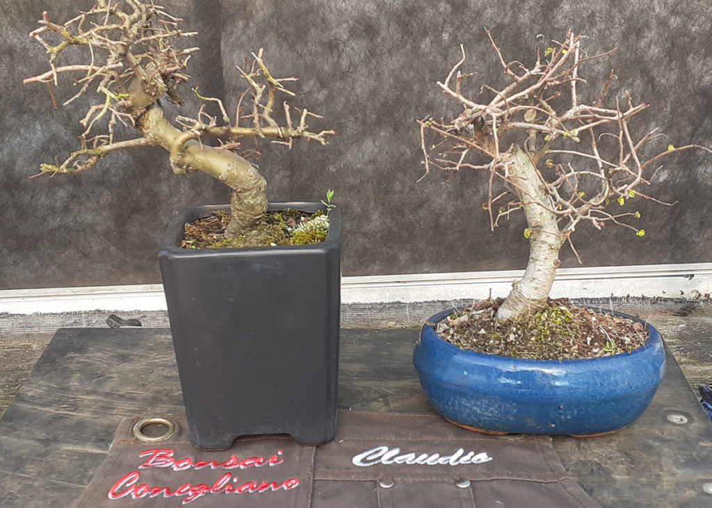 Tutorial rinvaso Bonsai Principianti